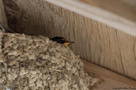 Barn Swallow in nest
