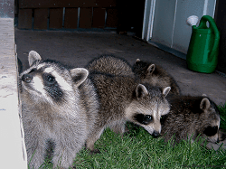 Raccoon family on deck sm