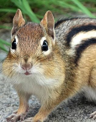 Image result for chipmunk