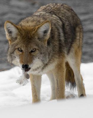 Coyotes Removal & Control