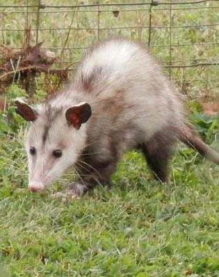 Opossum Native To The opossum  poorly adapted to