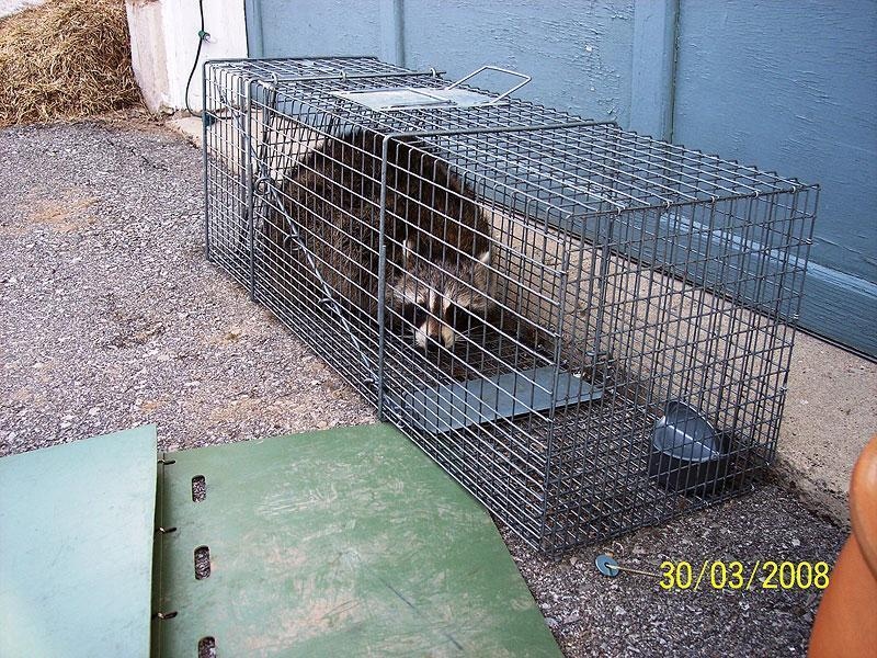 trapped raccoon1