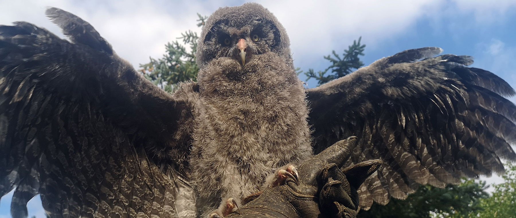2 month old great grey owl