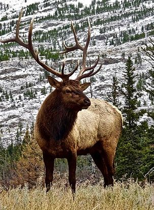 pest animal elk