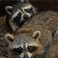 Raccoon control removal