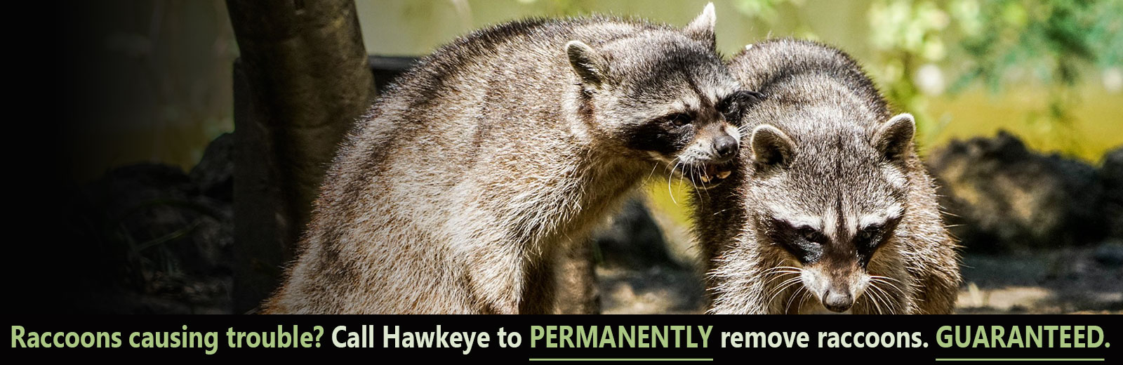 raccoon control and raccoon removal north york