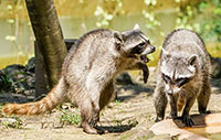 raccoon control removal richmond hill