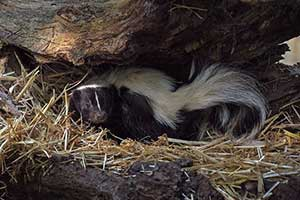 Are skunks dangerous, How do you get a skunk to leave?