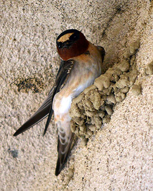 tn new cliff swallow