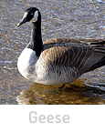 toronto geese control removal