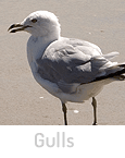 toronto gull control removal